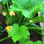Squash - Durango Food Bank Garden